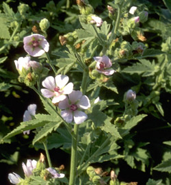 Marsh mallow for interstitial cystitis
